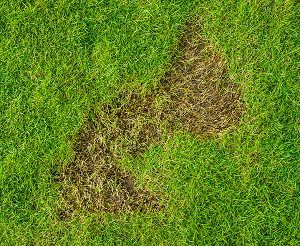 Lawn brown spot cased by lawn damaging insects or grubs.