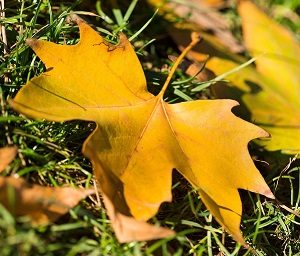 Autumn leaf leaves on ground of grass lawn.