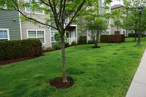 Landscaping lawn and green tree in apartment community.