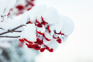 Winterberry fruit branch in winter covered in snow.