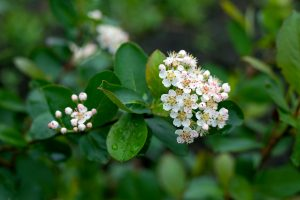 The white flowers of a black chokeberry shrub native to New England.