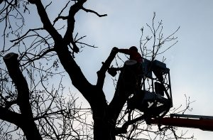 Tree climber on a crane platform in a basket with a railing. Cut of an old dry tree with a chainsaw. He has a helmet and a red winter jacket