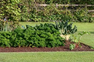 A backyard vegetable garden planted atop a mulch bed surrounded green grass