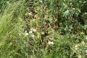 Extremely tall overgrown grass with faded thistle and other weeds with rusty wheelbarrow in the middle of wild bush